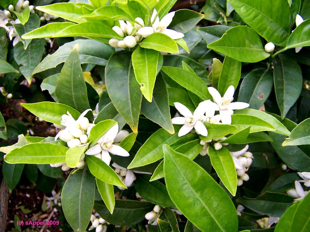 [Image: citricos-flores-citrus-bluete.jpg]